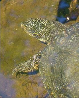 Pond Turtle, marbled pattern