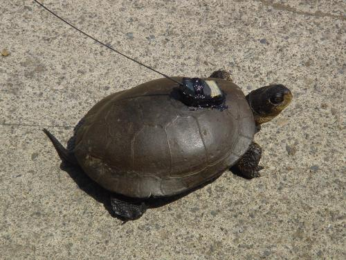 Turtle with fresh transmitter.