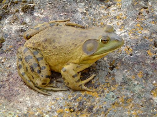 Predators - Bullfrog - Adult male.